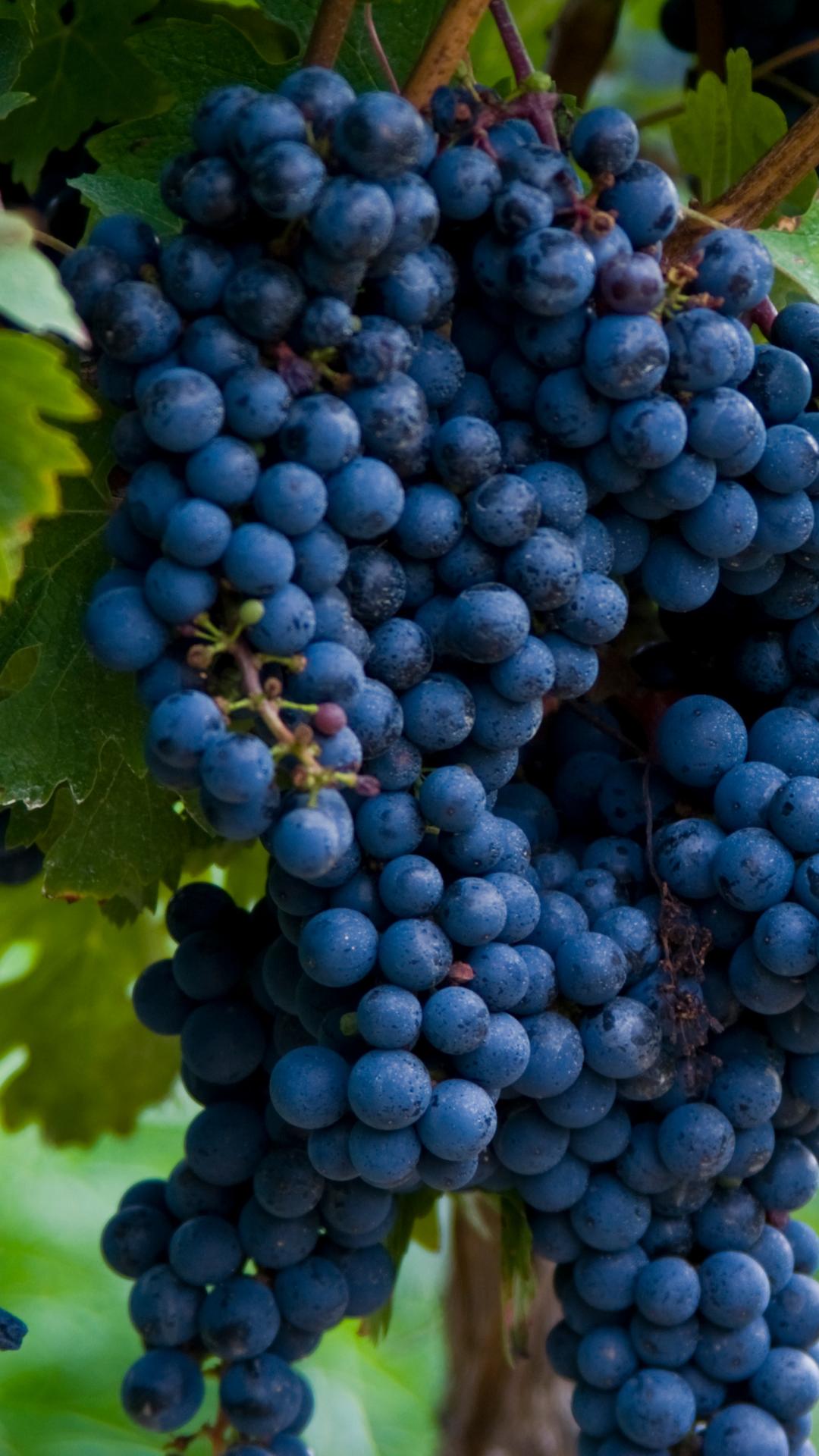 cabernet sauvignon uvas